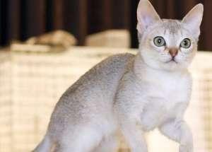 新加坡猫历史起源及外观特性